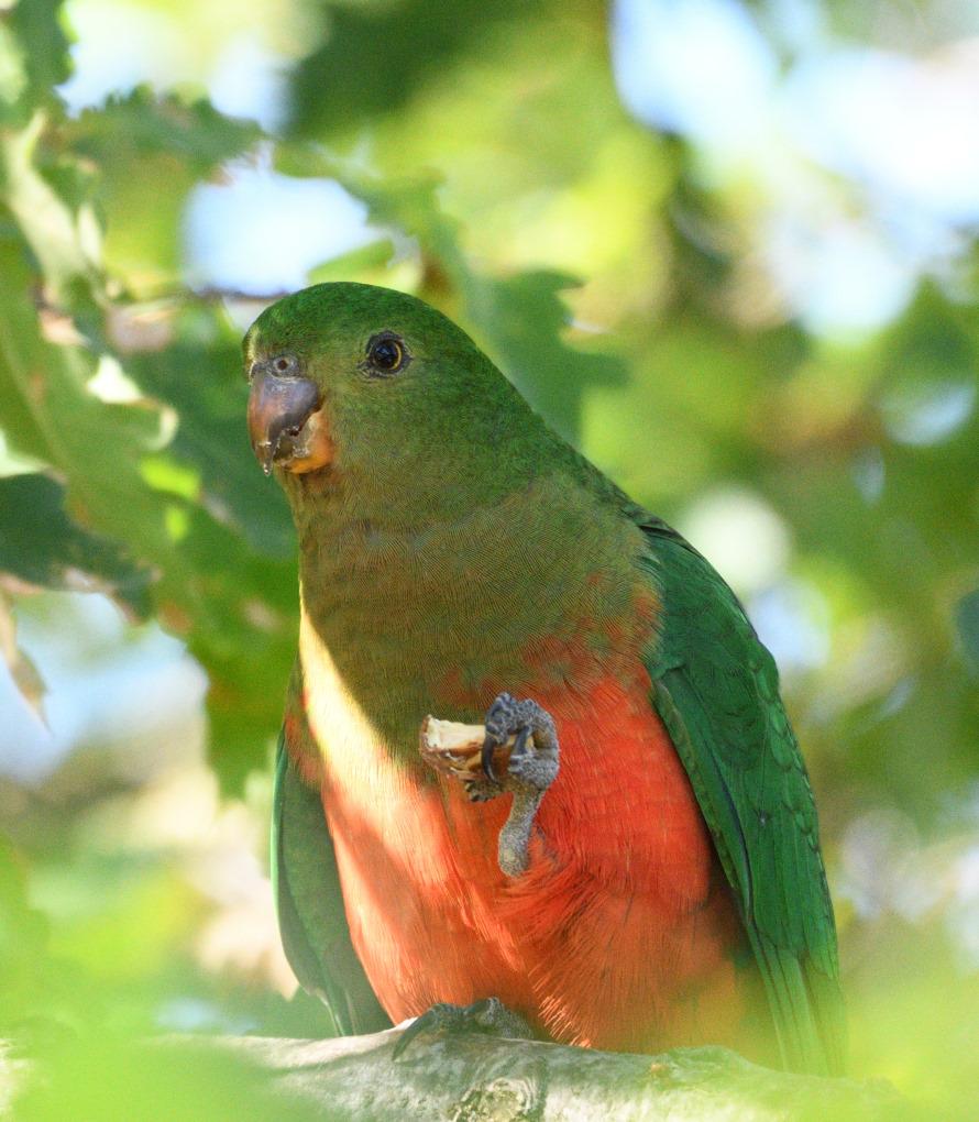 Parrots | OSSH